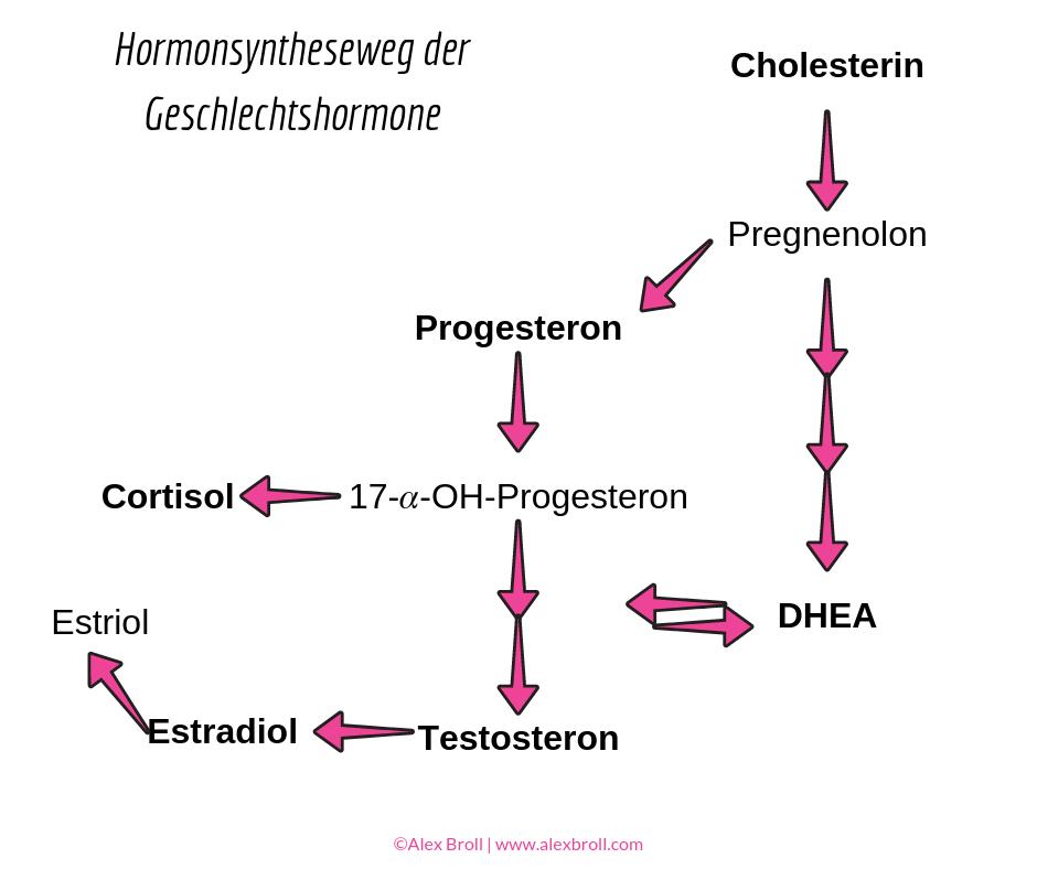 hormonsynstheseweg, geschlechtshormone, cortisol, oestrogen, progesteron, testosteron